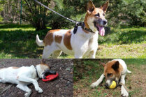 'Dzīvi ķēdē nepiedāvāt' – mājas meklē sunīte Koko, kurai ļoti patīk dauzīties