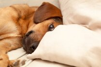 Izskatīšanai valdībā virza pretrunīgi vērtētos grozījumus likumā par suņu čipēšanu