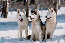 Baltākie, pūkainākie un labsirdīgākie sniega suņi. Skaistāko Ziemassvētku mīluļu tops