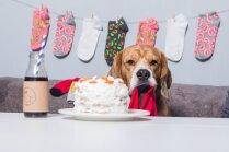 'Pārāk tipisks bīgls' – simpātiskais Frosts, kurš dzimšanas dienu svinēja zeķu ballē