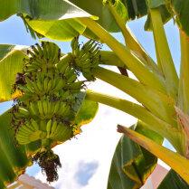 Как выглядят экзотические фрукты, прежде чем попасть к нам на стол