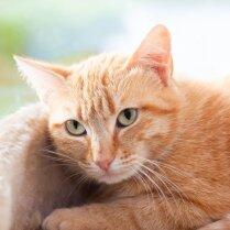Почему большинство рыжих котов – самцы?