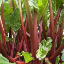 Как использовать настой листьев ревеня в саду