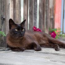 Бурма (бурманская кошка)