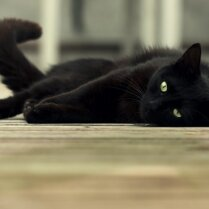 Не такие уж несчастливые. Семь неожиданных фактов о черных котах (и кошках)