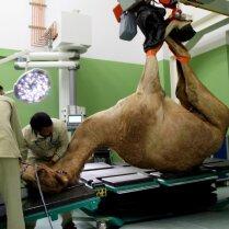 ФОТО: в ОАЭ открылась эксклюзивная клиника для верблюдов