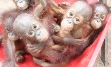 Video: Ņipri orangutēni apmeklē meža skoliņu
