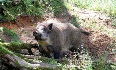 PVD konstatē Āfrikas cūku mēri vēl deviņām meža cūkām