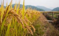 Foto: Saules apmirdzēts skaistums – kā tiek audzēti rīsi