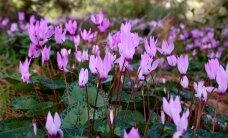 Košie ziedu zvaniņi – kā dabā aug trauslās Alpu vijolītes?