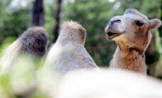 Laikraksts: dresēts kamielis pārbiedē Jaunmārupes iedzīvotāju, ieblandoties viņas dārzā