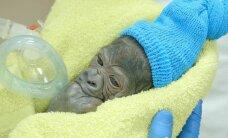Neparastā veidā pasaulē nācis gorillu bērniņš
