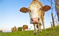 Briseles piešķirtos 8,5 miljonus piensaimniekiem un cūkkopjiem izmaksās tikai nākamgad