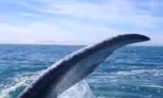 Interneta hits: Valis ar asti iesit sievietei pa galvu