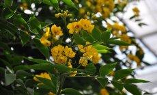 Foto: Dzeltenais ziedonis Salaspils botāniskajā dārzā