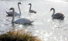 Lietuvā konstatēta putnu gripa
