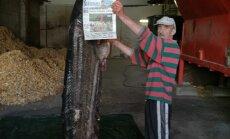 ФОТО: В Даугаве поймали гигантского сома