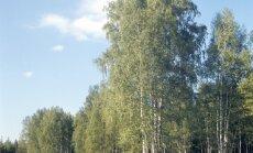 Каждому жителю Латвии разрешено срубать до пяти березок в год