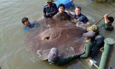 Jauns rekords - ar makšķeri noķerta lielākā saldūdens zivs