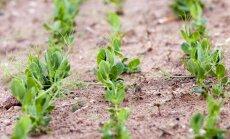 Darbs, kas prasa pacietību – pākšaugu audzēšana mazdārziņā
