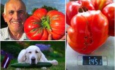 Rekordgurķi un tomāti: 'Delfi' lasītāji Latvijas dārzos iegūst brangu ražu