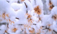 Spītējot sniegam, LU Botāniskajā dārzā zied zeltainā burvju lazda