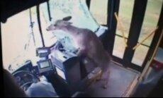 Video: briedis ASV izlido cauri braucoša autobusa vējstiklam