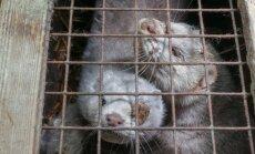 Mirst badā, salst un noslāpst: gadījumi, kad Latvijā nežēlīgi izturas pret dzīvniekiem