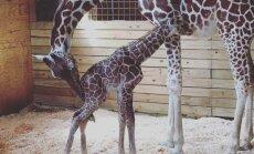 Video: Grūsnā žirafe Eiprila beidzot pasaulē laiž mazuli