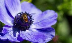 Nozīmes skaidrojums desmit iecienītām puķēm