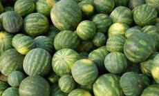 Latvijas arbūzu audzētājiem raža šogad ļoti slikta nelabvēlīgo laika apstākļu dēļ