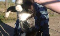 Krievijas cietumsargi notver kaķi kontrabandistu