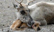 В Рижском зоопарке посетители до смерти закормили олененка: животное скончалось на операционном столе