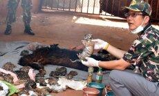 Desmitiem mirušu tīģeru mazuļi atrasti Taizemes tempļa saldētavā