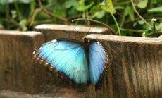 LU Botāniskā dārza Tropu tauriņu mājā sācies 'Zilo morfīdu trakums'