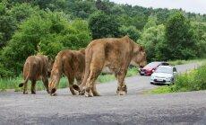 Āfrikas vasara safari zooloģiskajā dārzā Čehijā