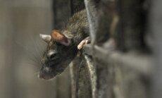 ВИДЕО: Как крысы проникают через канализацию в унитаз