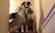 Milzu bailulis Floids – iespaidīga izmēra vācu dogs, kas vienmēr nēsā līdzi sedziņu