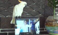 'Gangnam Style' neprātā iesaistās papagailis