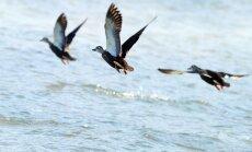 Krievijā ar putnu gripu mirst 4000 meža pīļu