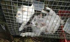 Foto: Sužos sievietei konfiscē 45 sliktos apstākļos turētus kaķus