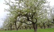 Brīdina par ābeļu un bumbieru kraupja izplatības risku dārzos un ne tikai