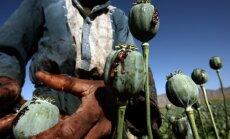 Afganistānā šogad iznīcināti 15 000 hektāri opija magoņu sējumu