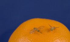 Kā cīnīties ar nevēlamajām augļu mušiņām?