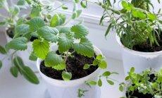 Mājas aptieciņa uz palodzes – augi veselībai, ko audzēt mājās ziemā un agrā pavasarī