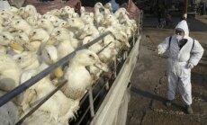 Putnu gripa bīstami pietuvojusies Latvijai, vēsta LNT