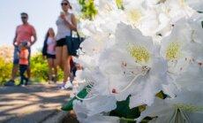 Fotopastaiga pa apbrīnojami ziedošo rododendru dārzu Pārdaugavā