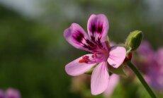 Создаем душистый сад: сажаем герань