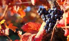 Sulīgas ogas arī nākamgad: kā ieziemot vīnogas un pasargāt no lielajām salnām