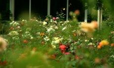 Rožu ziedēšanas pilnbriedā: interesanti fakti par dārza karalienēm